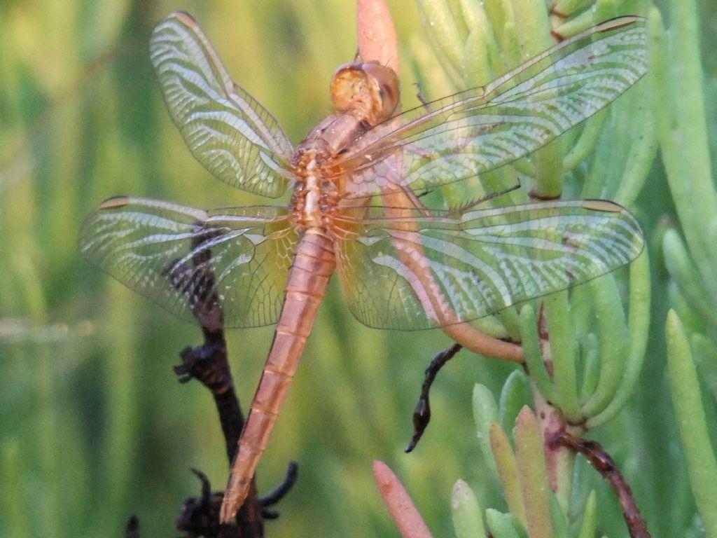 Parliamo di: Scheda Crocothemis erythraea