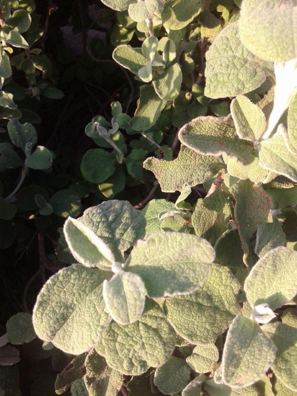 Simil Salvia - Cistus creticus subsp. eriocephalus