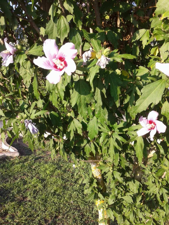cv di Hibiscus syriacus  (Malvaceae)