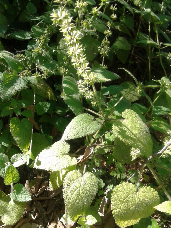 Sottobosco: Stachys sylvatica (Lamiaceae)