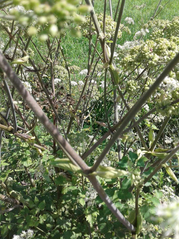 Ombrellifera gigante: Angelica sylvestris