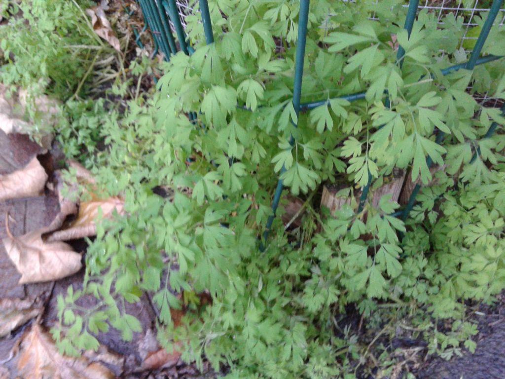 In giardino privato: Fumaria sp.