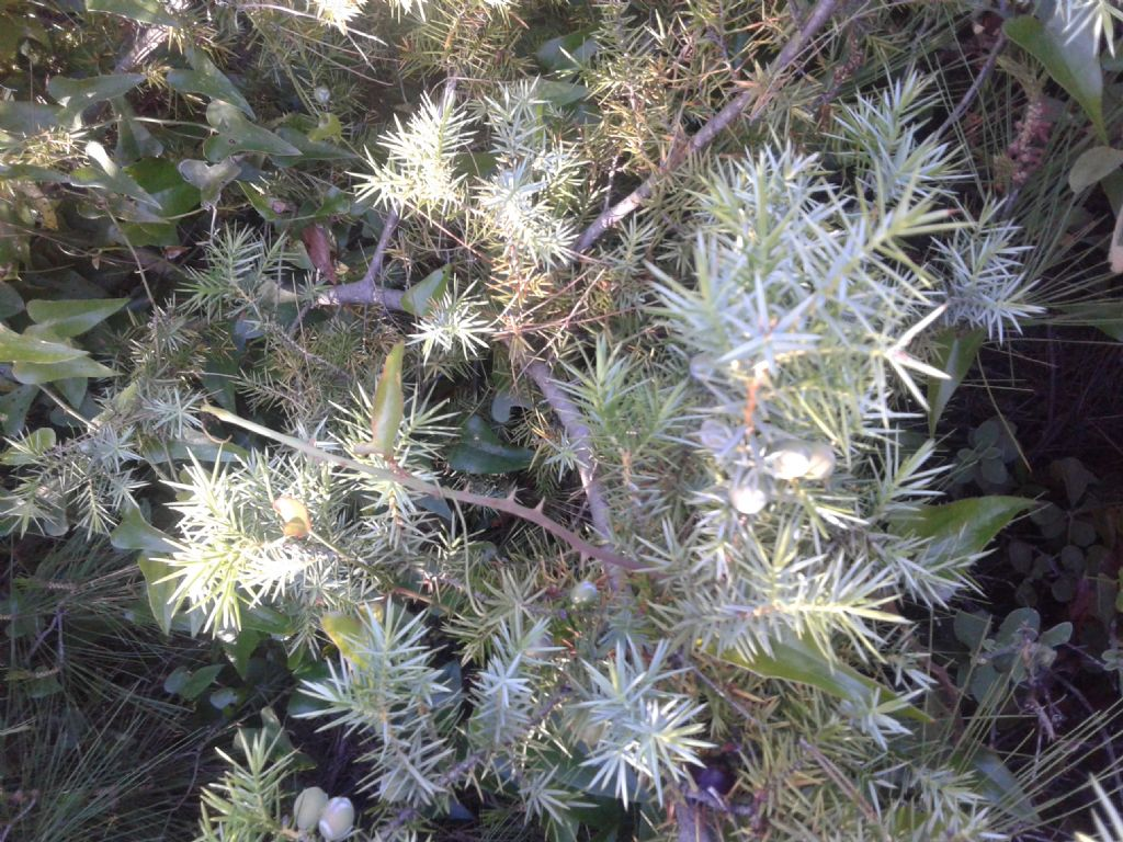 Juniperus macrocarpa (=Juniperus oxycedrus subsp. macrocarpa)