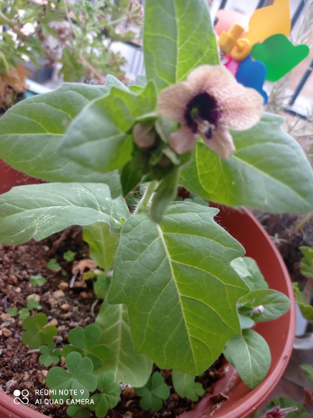 Pianta in vaso: Giusquiamo nero / Hyoscyamus niger (Solanaceae)