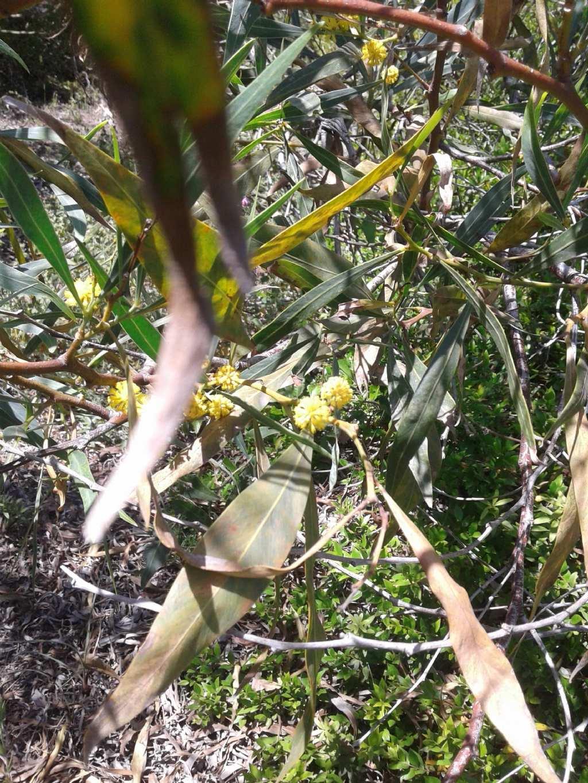 Fiori tipo mimosa: Acacia saligna