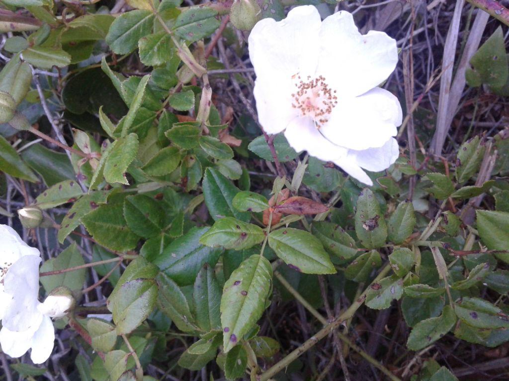 Odora di rosa: Rosa sempervirens da confermare