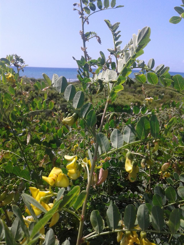 Fabaceae: Colutea arborescens