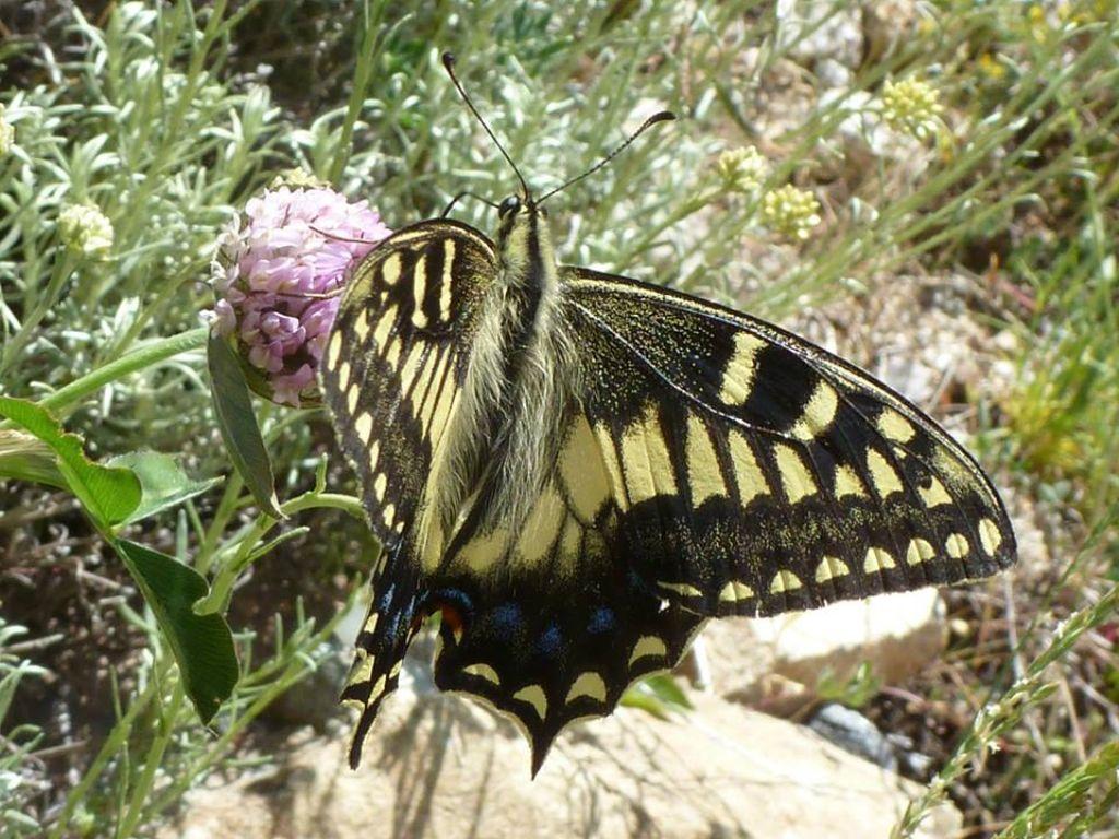 Due endemismi sardo-corsi, dalla Corsica