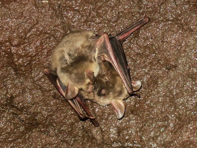 Bat from Sicily, Italy