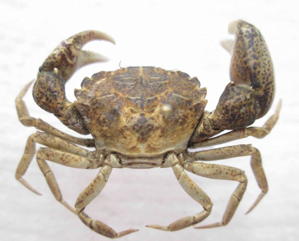 Crab from Black Sea