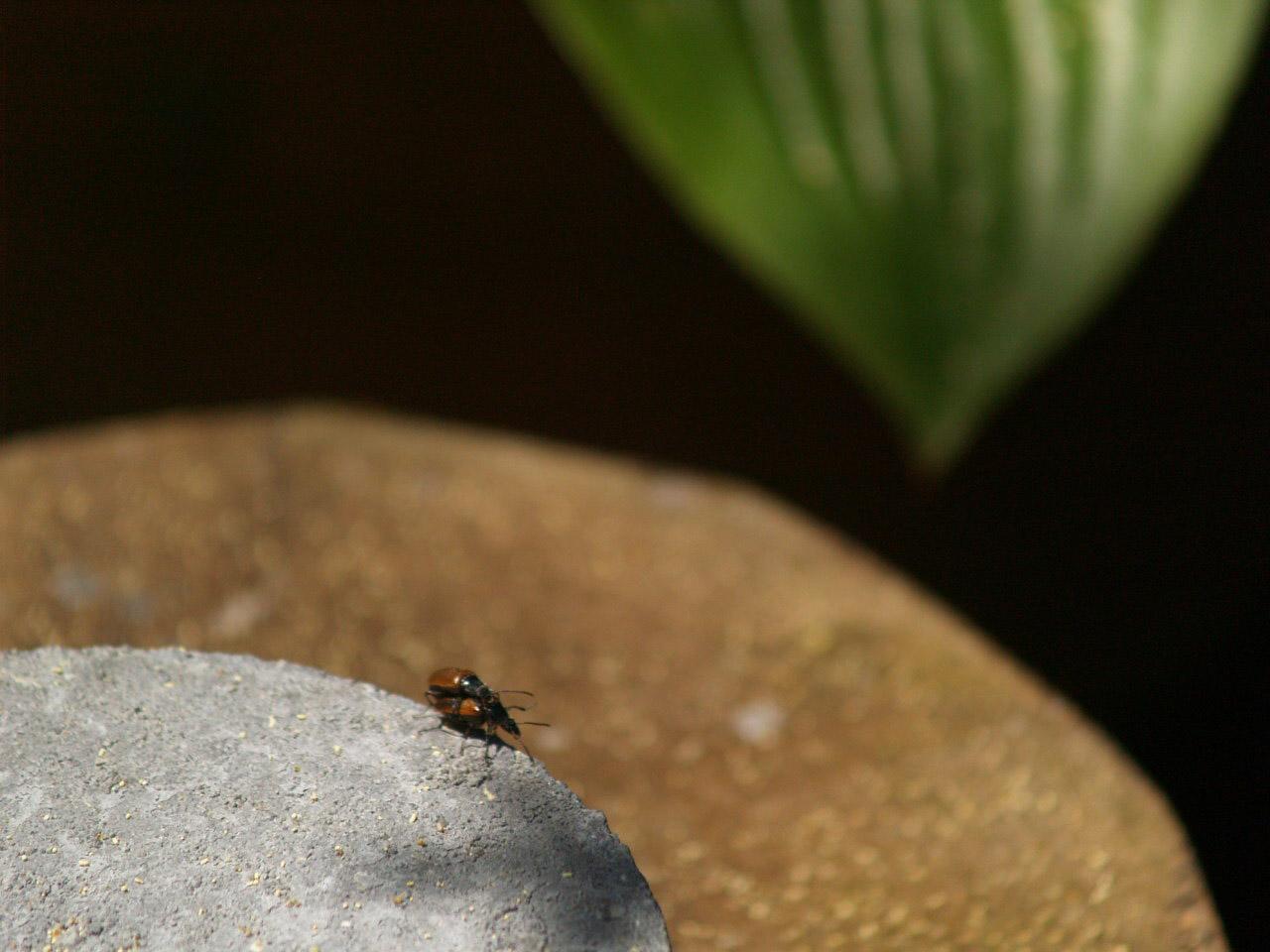 Cantharidae? Forse Tenebrionidae Alleculinae