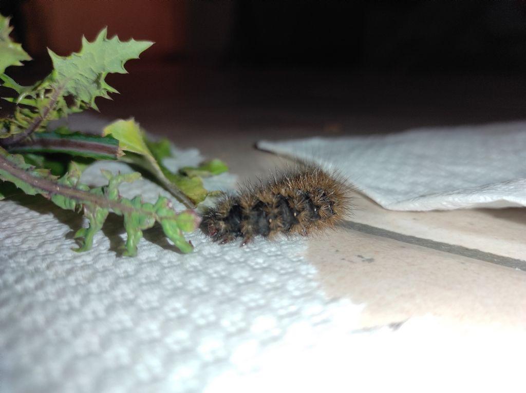 Di che specie è questo bruco?  Arctia villica - Erebidae Arctiinae