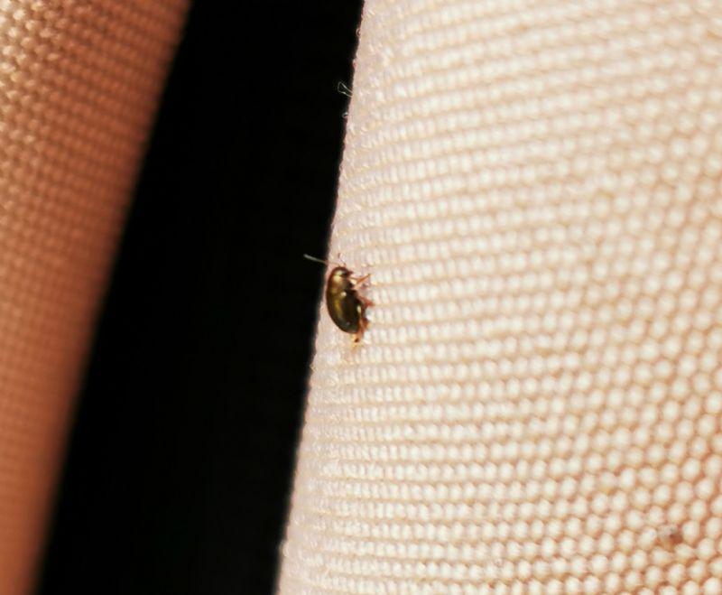 Di che insetto si tratta?  Chrysomelidae Alticini