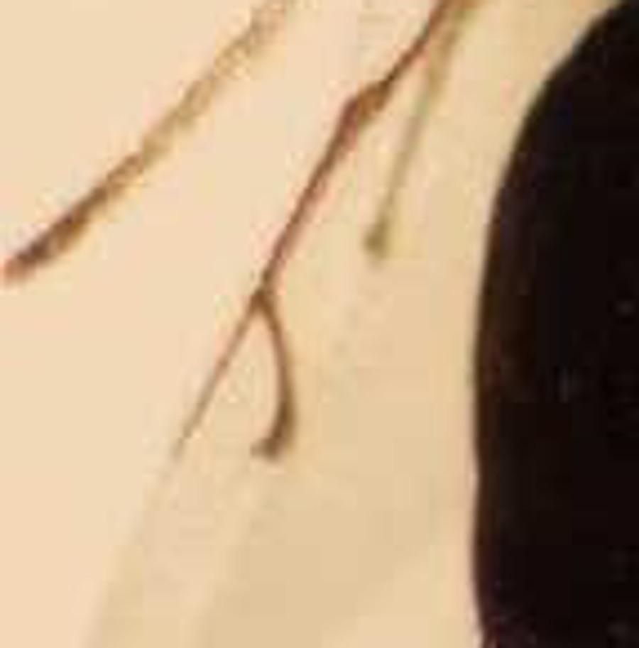 Parassitoide di dittero parassitoide di bruco: Pteromalidae