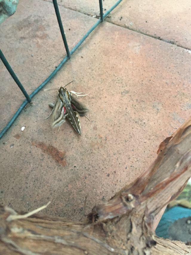 Sphyngidae ?.......Hippotion celerio ?