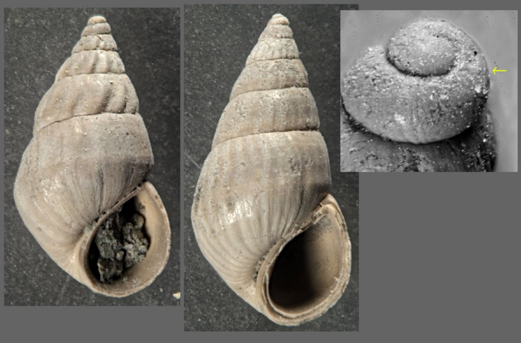 Gasteropode tortoniano