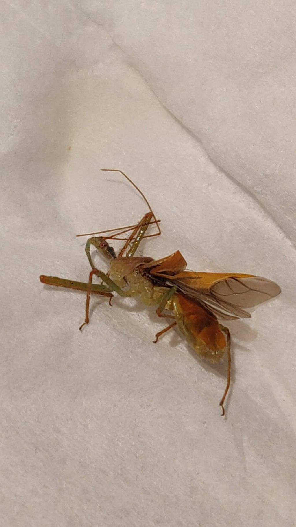 Reduviidae: Zelus renardii