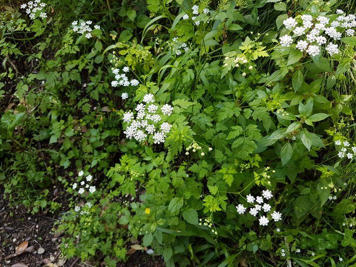 Apiaceae: Chaerophyllum temulum (cfr.)