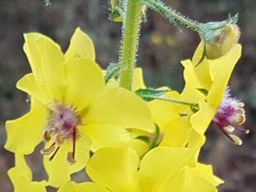 Verbascum blattaria  (Scrophulariaceae)