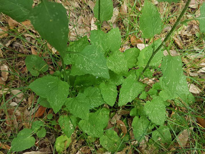 Asteracea gialla:  Lapsana communis