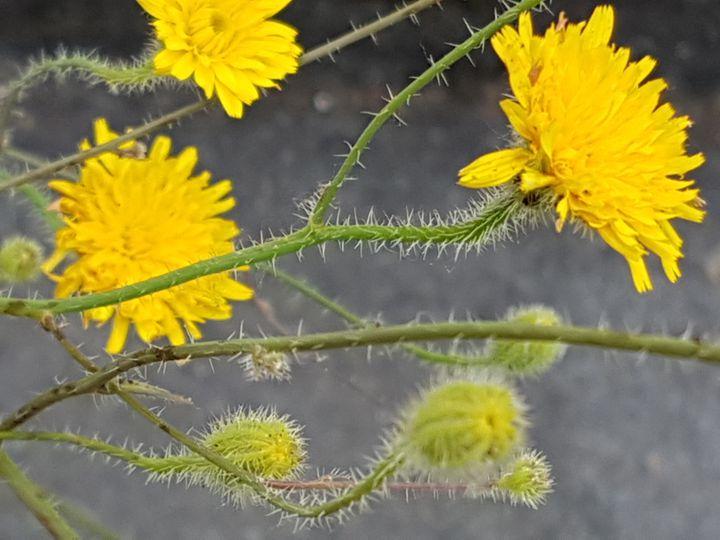 un''altra Asteracea gialla: Hypochaeris achyrophorus
