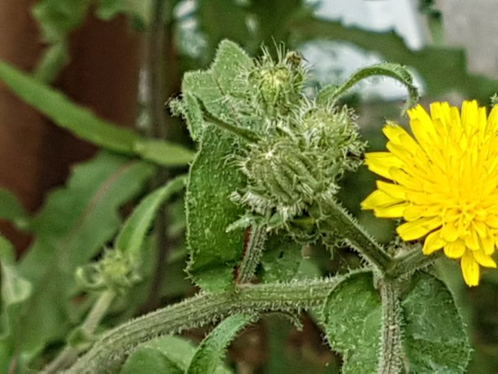 Quarta asteracea dal fiore giallo: Picris hieracioides
