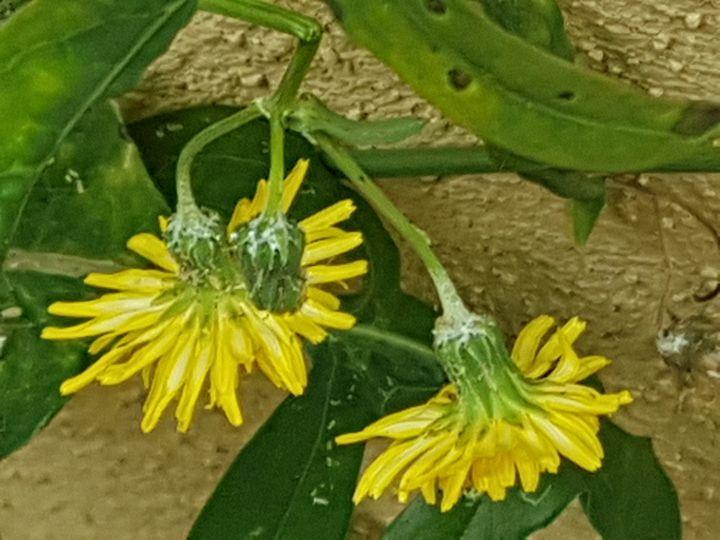 Asteracea dal fiore giallo:  Sonchus sp.