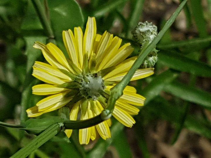 Asteracea dal fiore giallo: Sonchus cfr. tenerrimus