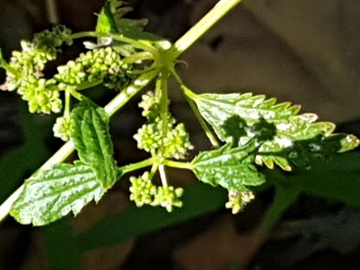 Urtica pilifera (Urticaceae)