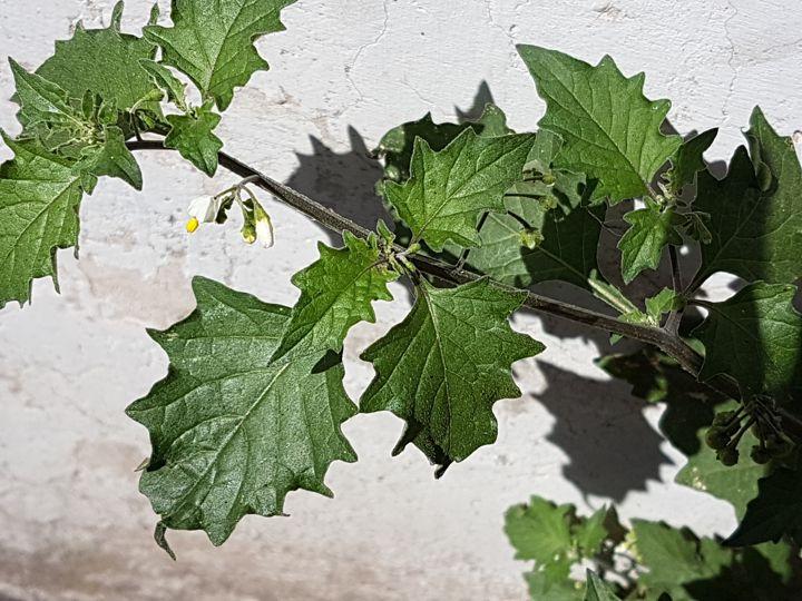 forse è una varietà di Solanum nigrum