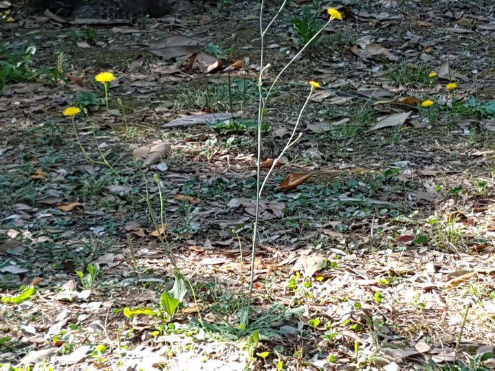Asteracea con fiore giallo: Hypochaeris radicata