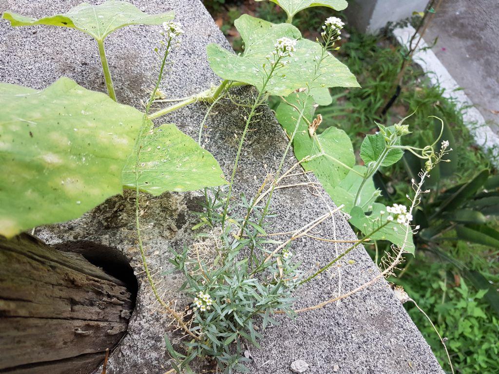 Lepidium graminifolium o Lobularia maritima (Brassicaceae [ex Cruciferae])