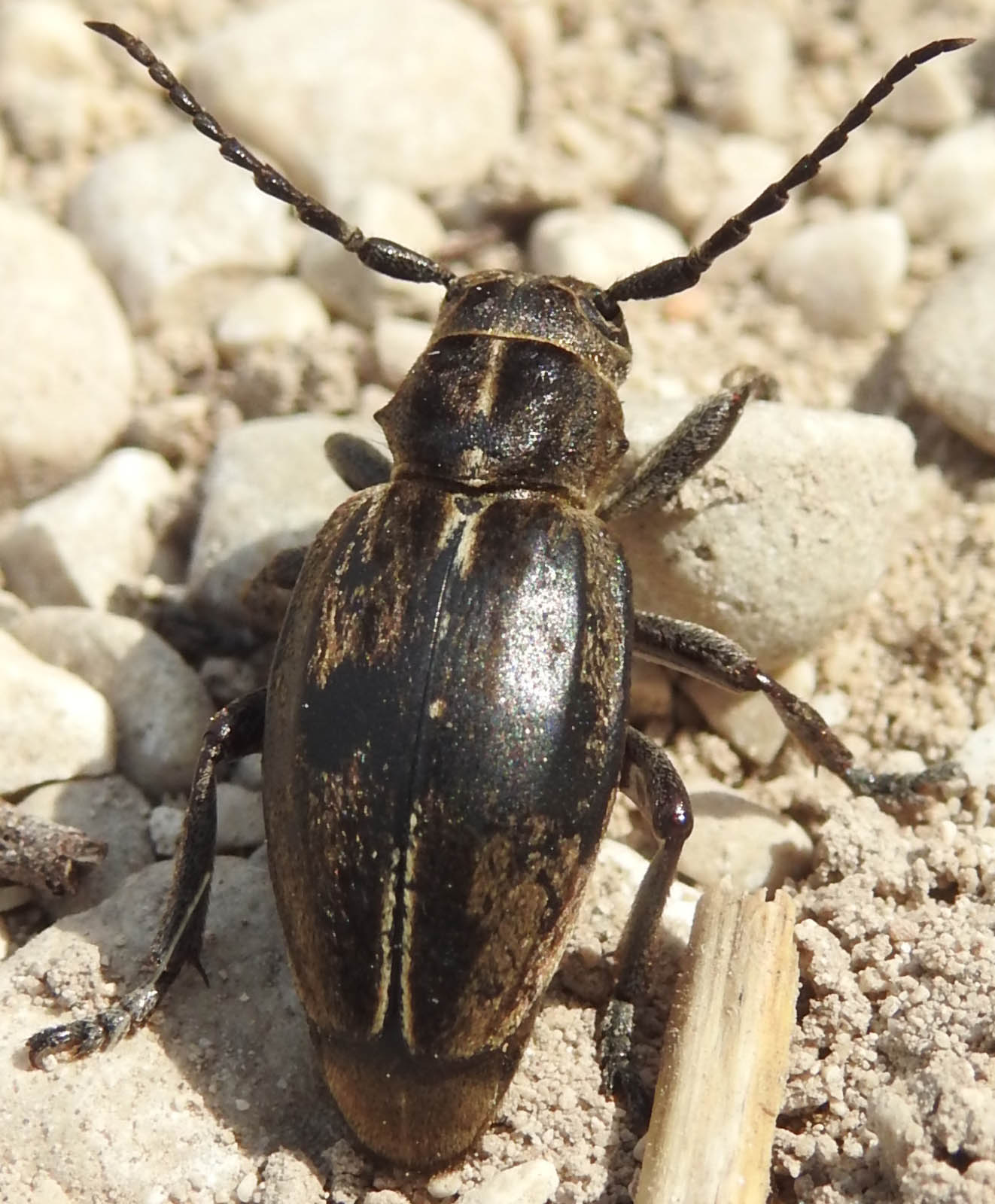 Cerambycidae Lamiinae dalla Basilicata: Dorcadion (Pedestredorcadion) etruscum
