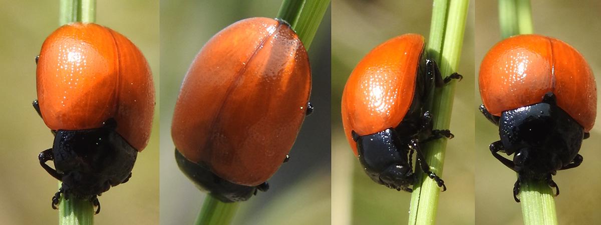Chrysomelidae del Parco della Murgia Materana; Chrysolina lutea