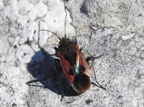 Lygaeidae: Rhyparochromus sanguineus