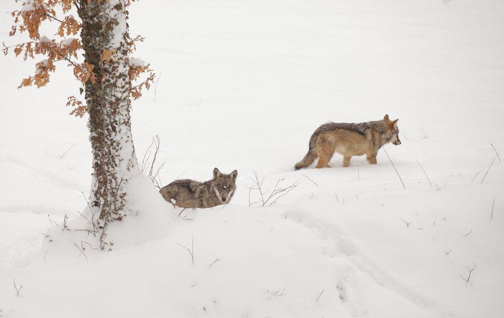 Lupo appenninico in cattività e cani (Civitella Alfedena)