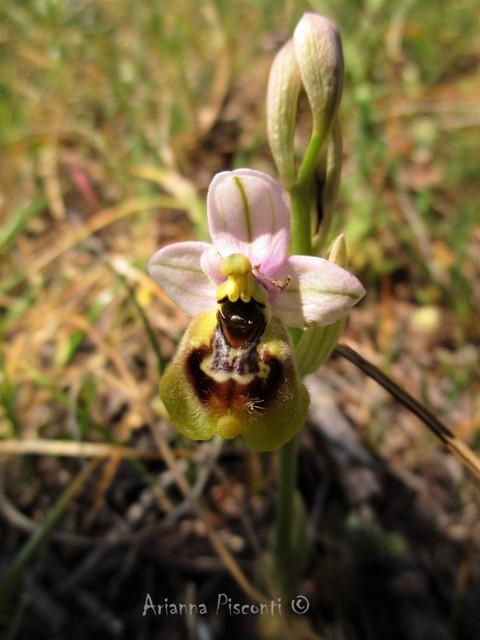 Ophrys tardans in prov. di Taranto
