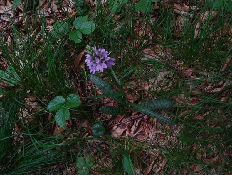 Dactylorhiza maculata subsp. fuchsii.....Ronzo Chienis (TN)