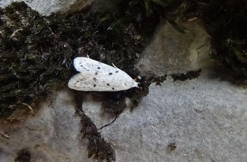 quale Symmoca (Autostichidae)  ? - Symmoca cf. caliginella