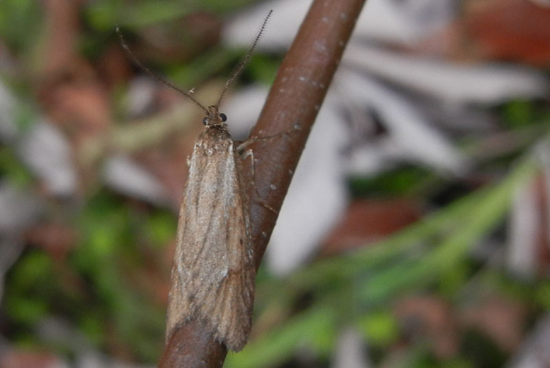 Diurnea lipsiella - Chimabachidae..........dal Trentino