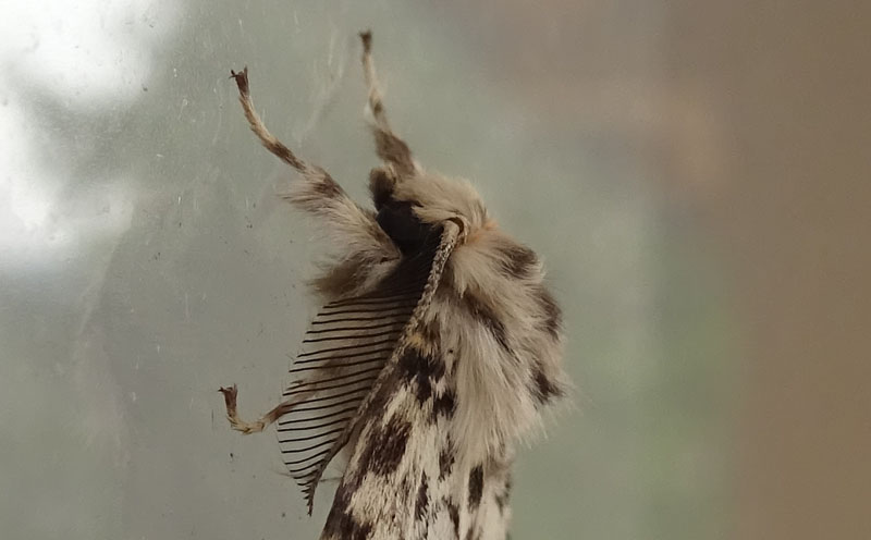 Lymantria monacha - Erebidae Lymantriinae...dal Trentino