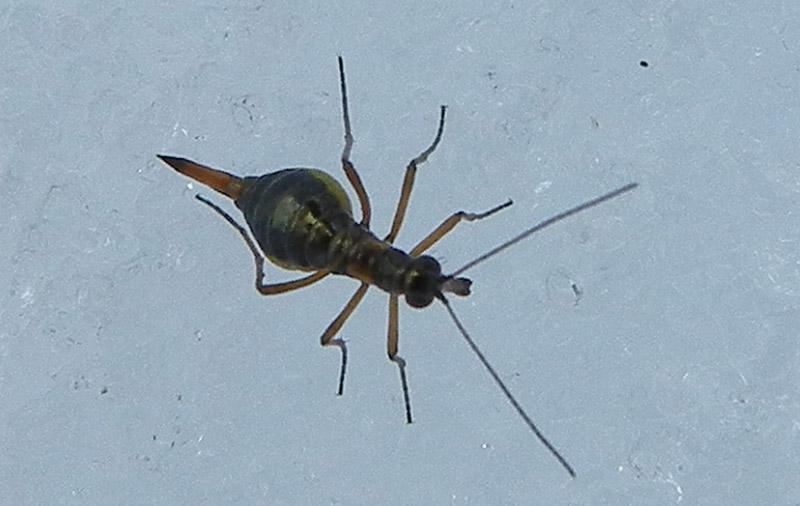 Boreus hyemalis (femmina)