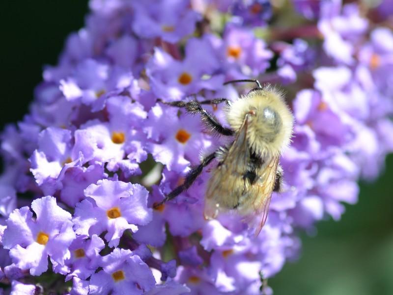 Apidae: Bombus cfr. pascuorum
