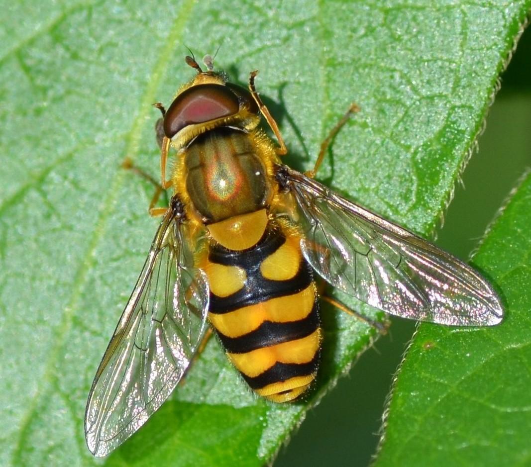 Syrphidae: Syrphus sp. e Eristalis cfr. tenax