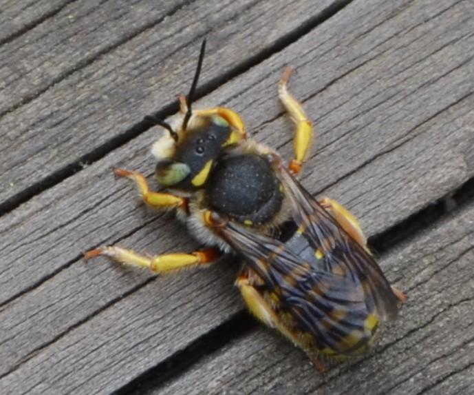 Idee? Sì, Hymenoptera: Anthidium sp. (Apidae Megachilinae)