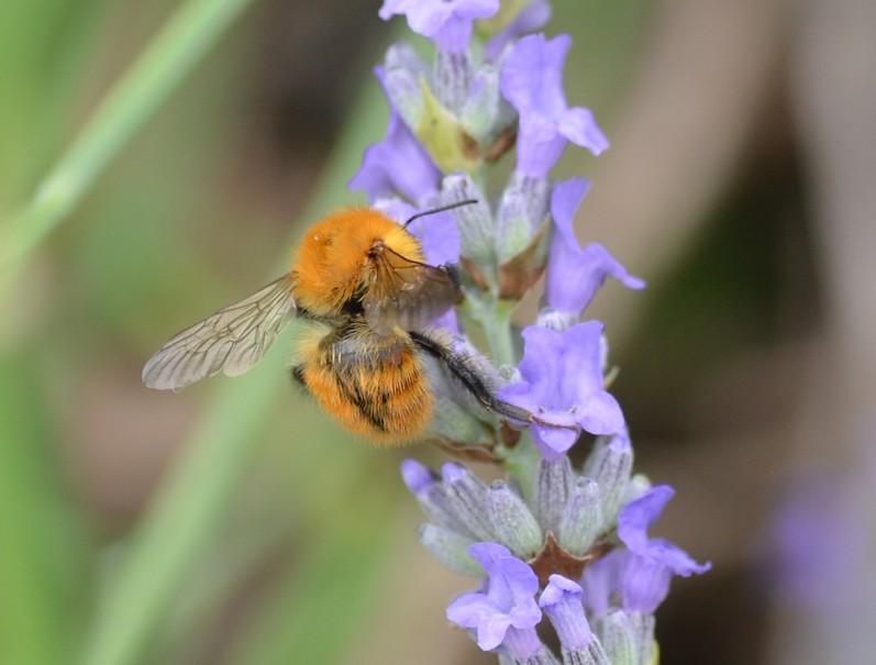 Sirfide? No, Hymenoptera: Bombus cfr. pascuorum (Apidae)