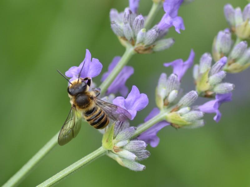 Sirfide? No, Hymenoptera: Megachile sp. (Apidae Megachilinae)