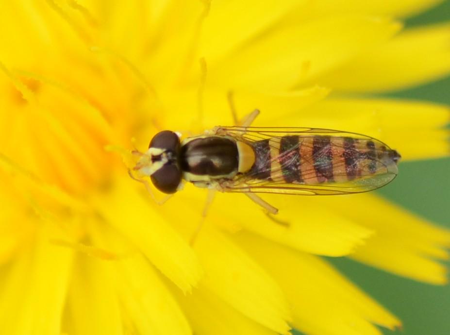 Syrphidae: cfr. Sphaerophoria scripta