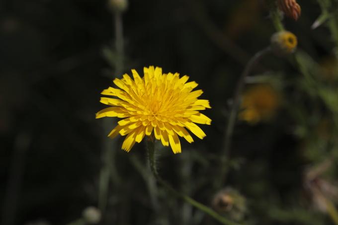 Hypochaeris achyrophorus / Costolina annuale