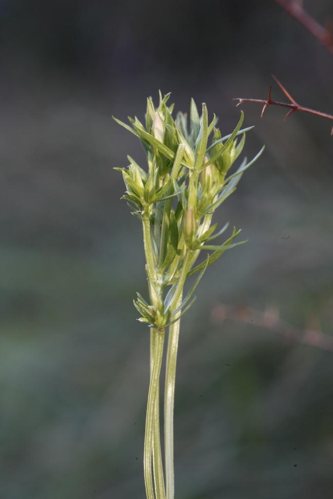 Centaurium sp.   (Gentianaceae)
